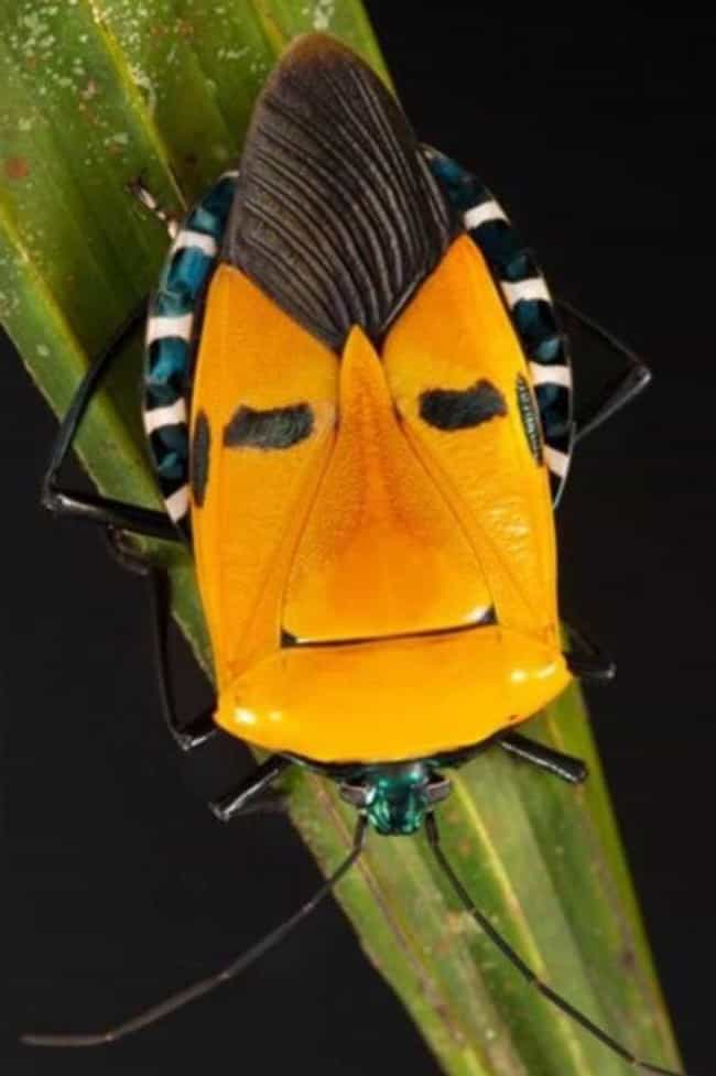 This Guy Is Called The Elvis P... is listed (or ranked) 4 on the list Pictures Of Exotic Insects You Can't Believe Are Real
