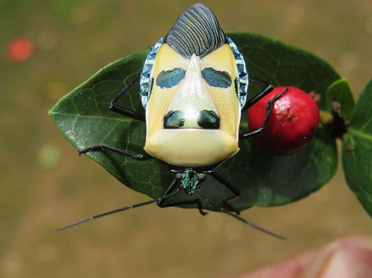 This Guy Is Called The Elvis P is listed (or ranked) 4 on the list Pictures Of Exotic Insects You Can't Believe Are Real