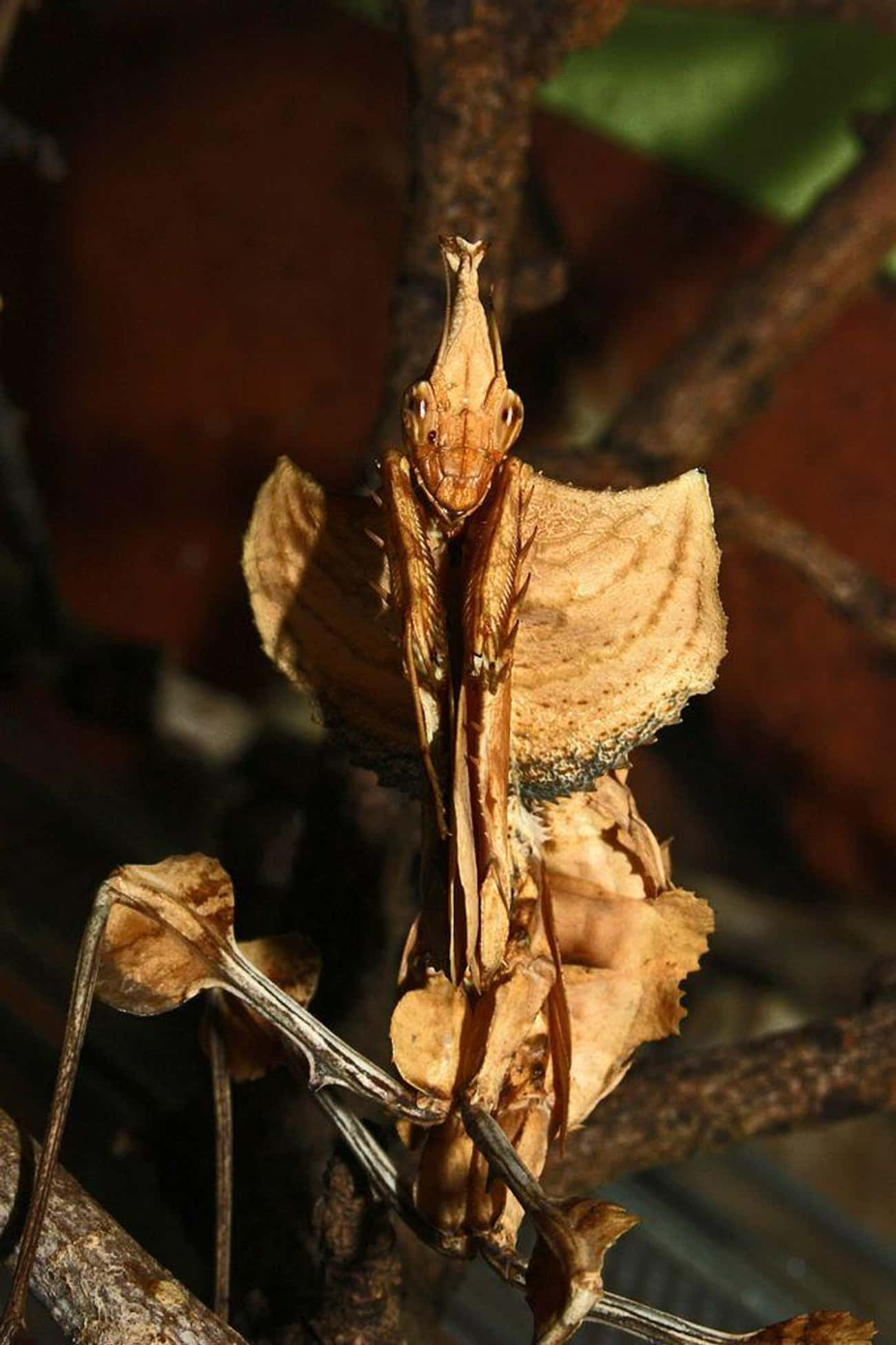 The Devil's Flower Mantis is listed (or ranked) 1 on the list Pictures Of Exotic Insects You Can't Believe Are Real