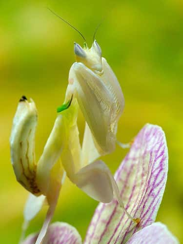 The Common Flower Mantis is listed (or ranked) 2 on the list Pictures Of Exotic Insects You Can't Believe Are Real