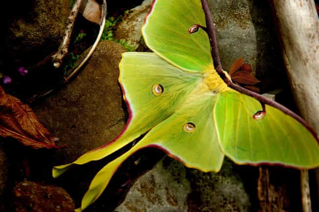 The Luna Moth Can Be Found In ... is listed (or ranked) 3 on the list Pictures Of Exotic Insects You Can't Believe Are Real
