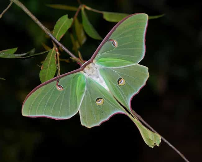 The Luna Moth Can Be Fou... is listed (or ranked) 3 on the list Pictures Of Exotic Insects You Can't Believe Are Real