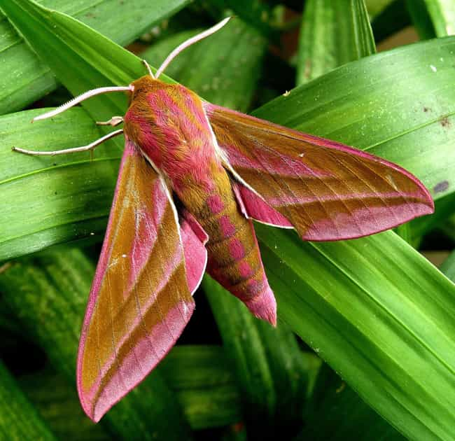 The Elephant Hawkmoth Di... is listed (or ranked) 4 on the list Pictures Of Exotic Insects You Can't Believe Are Real