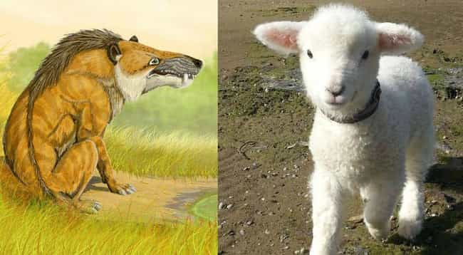 Andrewsarchus And Sheep is listed (or ranked) 4 on the list Terrifying Prehistoric Versions Of Cute Animals