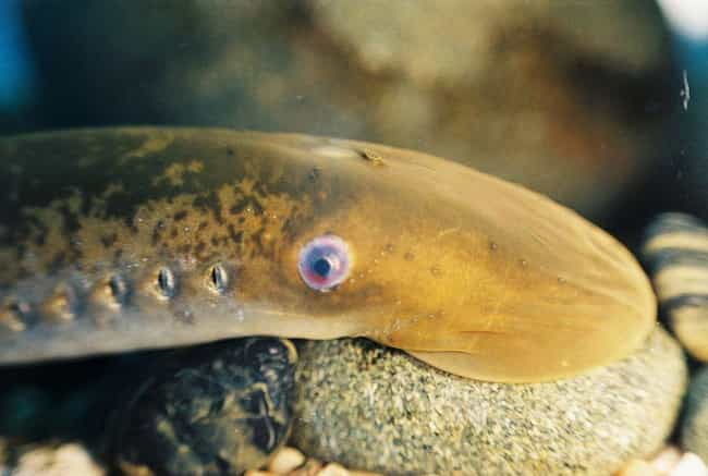 Things You Didn T Know About Sea Lampreys The Sea S Most Hideous