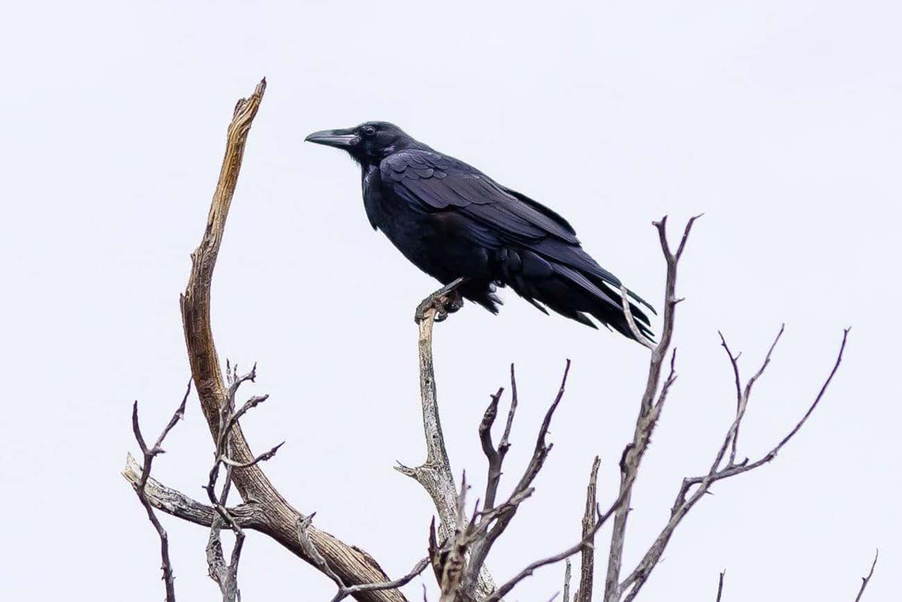 Black Bird Of Chernobyl is listed (or ranked) 2 on the list 15 Paranormal Harbingers Of Doom Seen Before Tragic Events