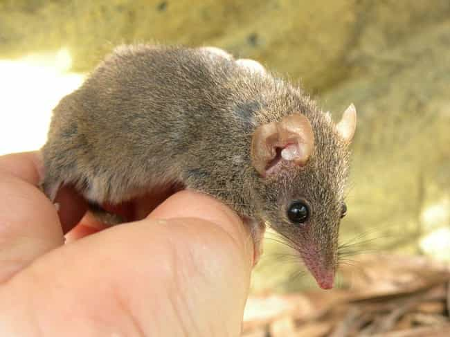 The Brown Antechinus Keeps Doi... is listed (or ranked) 2 on the list Animals Who Just Love Getting Down And Dirty