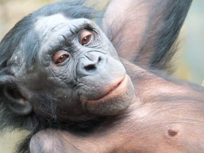Bonobos Love Doing It Wherever... is listed (or ranked) 1 on the list Animals Who Just Love Getting Down And Dirty