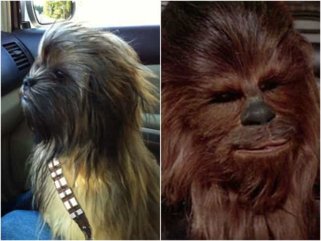 Chewbacca Dog is listed (or ranked) 1 on the list 16 Animals That Look Like Famous Fictional Characters