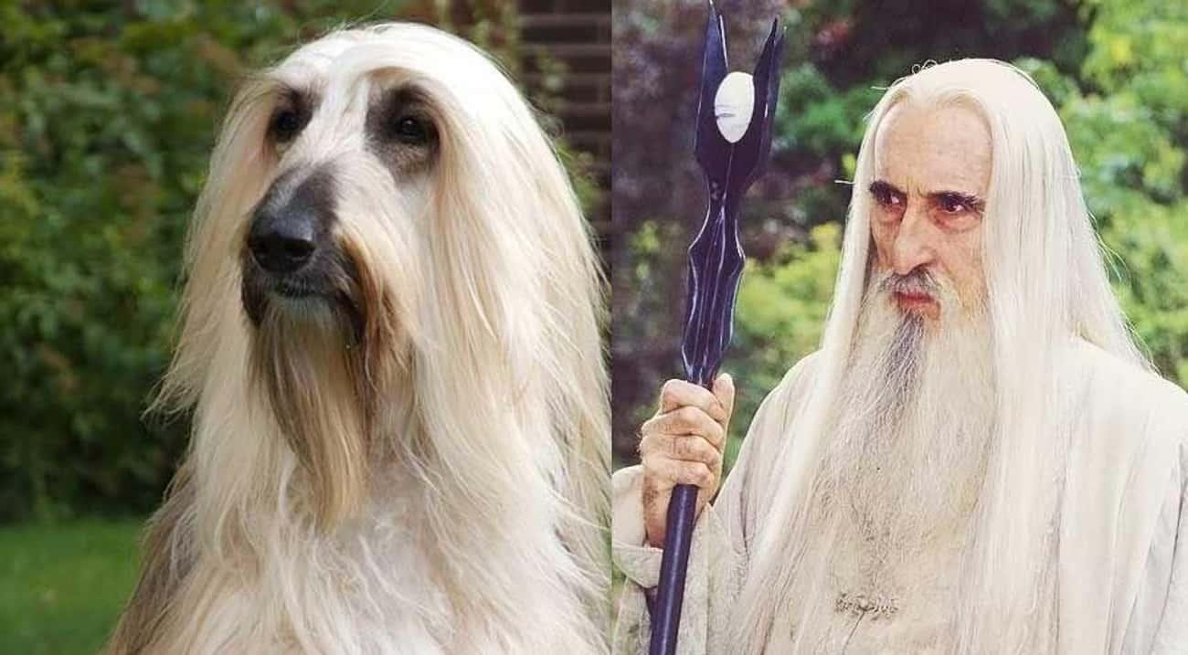 Saruman Dog