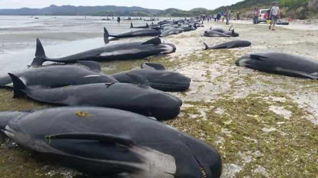 At Least 300 Whales Die After ... is listed (or ranked) 4 on the list Strange Cases of Mysterious Mass Animal Deaths