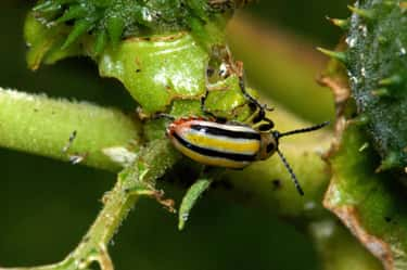 Three-Lined Potato Beetles Rol is listed (or ranked) 2 on the list Animals and Insects That Use Their Dung In Fascinating Ways