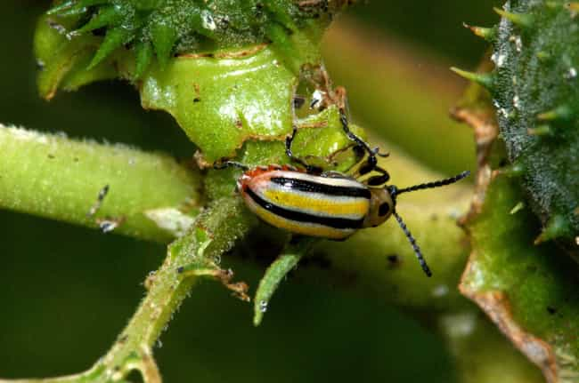Three-Lined Potato Beetles Rol... is listed (or ranked) 2 on the list Animals and Insects That Use Their Dung In Fascinating Ways