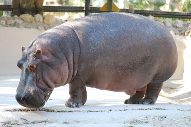 Hippos Use Their Poop To Attra... is listed (or ranked) 4 on the list Animals and Insects That Use Their Dung In Fascinating Ways