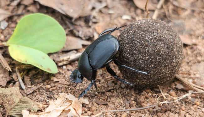 Dung Beetle Poop Doubles As A ... is listed (or ranked) 5 on the list Animals and Insects That Use Their Dung In Fascinating Ways