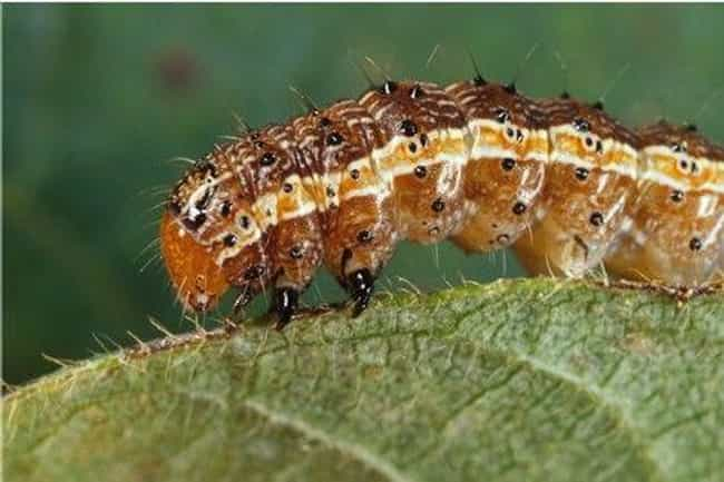 Fall Armyworm Caterpillars Poo... is listed (or ranked) 6 on the list Animals and Insects That Use Their Dung In Fascinating Ways