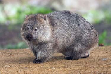 Wombats Use Their Square Poop  is listed (or ranked) 1 on the list Animals and Insects That Use Their Dung In Fascinating Ways