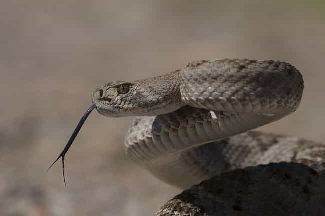 Western Diamondback Rattlesnak... is listed (or ranked) 3 on the list 30 Terrifying Close-Up Photos of Snakes