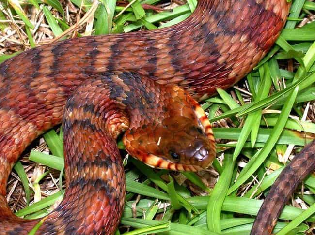 Banded Water Snake is listed (or ranked) 4 on the list 30 Terrifying Close-Up Photos of Snakes