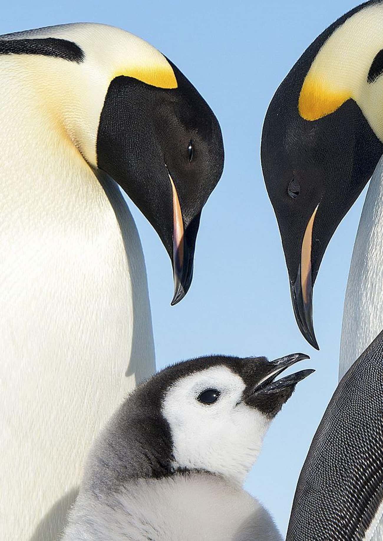 Some Penguins Straight-Up Kidn is listed (or ranked) 3 on the list 10 Borderline Terrifying Facts About The Love Life Of Penguins