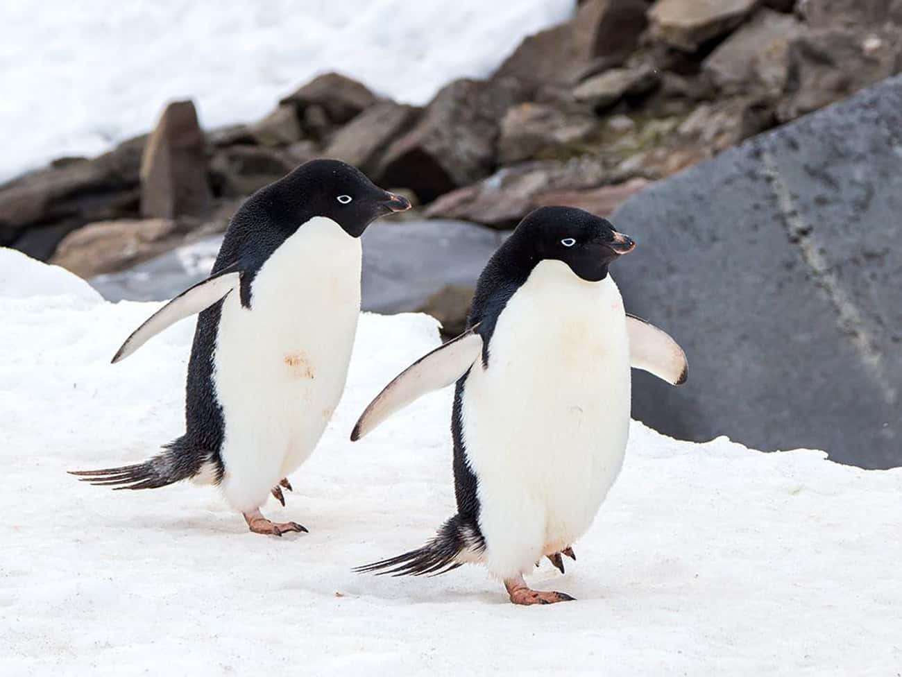 They Engage In Necrophilia is listed (or ranked) 1 on the list 10 Borderline Terrifying Facts About The Love Life Of Penguins