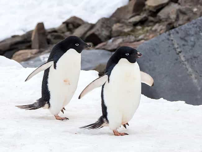 They Engage In Necrophil... is listed (or ranked) 1 on the list 10 Borderline Terrifying Facts About The Love Life Of Penguins