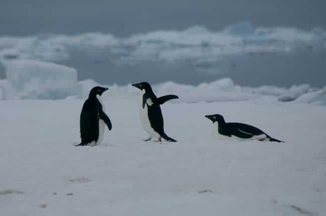 Penguin Gangs Assault An... is listed (or ranked) 4 on the list 10 Borderline Terrifying Facts About The Love Life Of Penguins