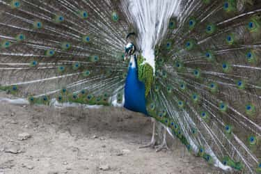 A Blue And White Peacock is listed (or ranked) 2 on the list Rare And Beautiful Animals That Aren't Their Normal Color