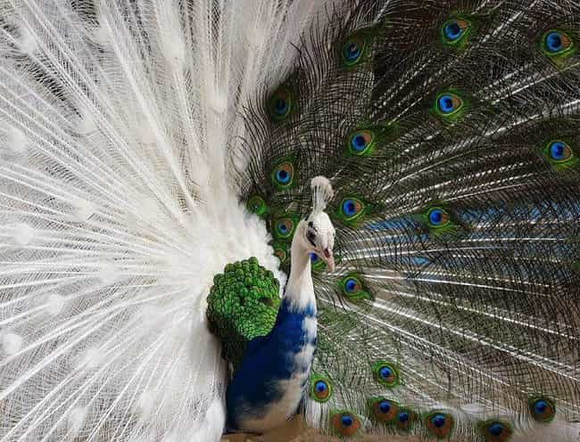 This Blue And White Peac... is listed (or ranked) 2 on the list Rare And Beautiful Animals That Aren't Their Normal Color