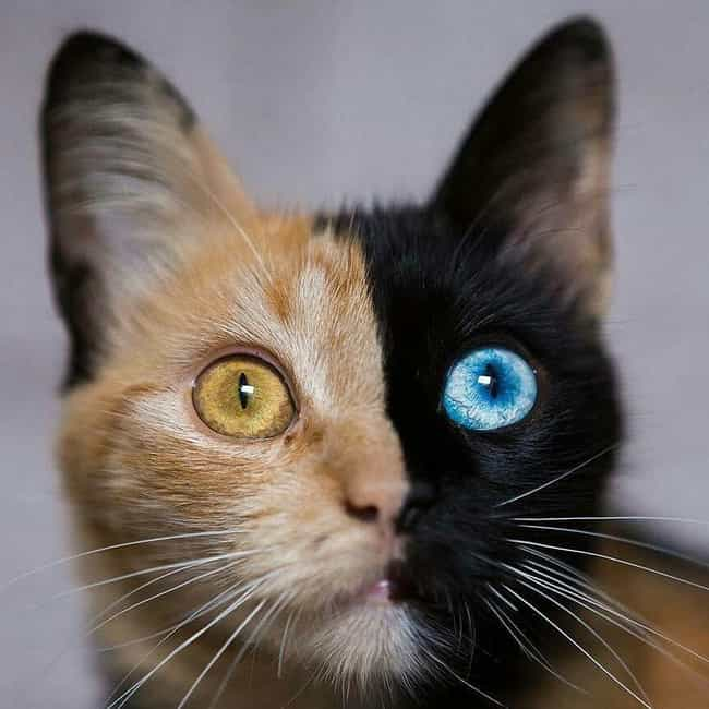 A Chimera Cat. This Is W... is listed (or ranked) 1 on the list Rare And Beautiful Animals That Aren't Their Normal Color
