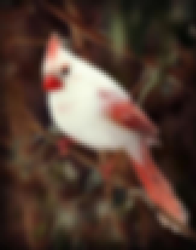 A Rarely Seen White Cardinal is listed (or ranked) 3 on the list Rare And Beautiful Animals That Aren't Their Normal Color