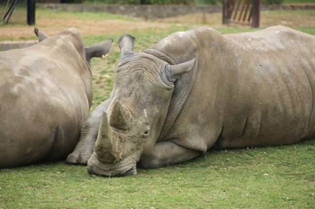 A Rhino Was Shot By Poachers A... is listed (or ranked) 4 on the list The Worst Things That Have Ever Happened at Zoos