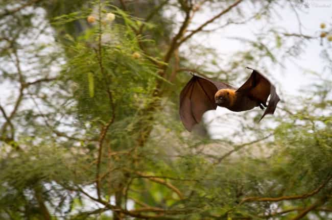 They Are The Only Mammals That... is listed (or ranked) 1 on the list 17 Reasons Why Bats Are Actually Totally Badass