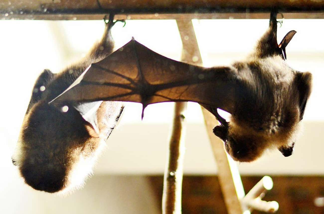 Their Wings Are Huge Fingertip is listed (or ranked) 2 on the list 17 Reasons Why Bats Are Actually Totally Badass