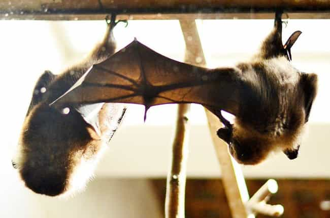 Their Wings Are Huge Fingertip... is listed (or ranked) 2 on the list 17 Reasons Why Bats Are Actually Totally Badass