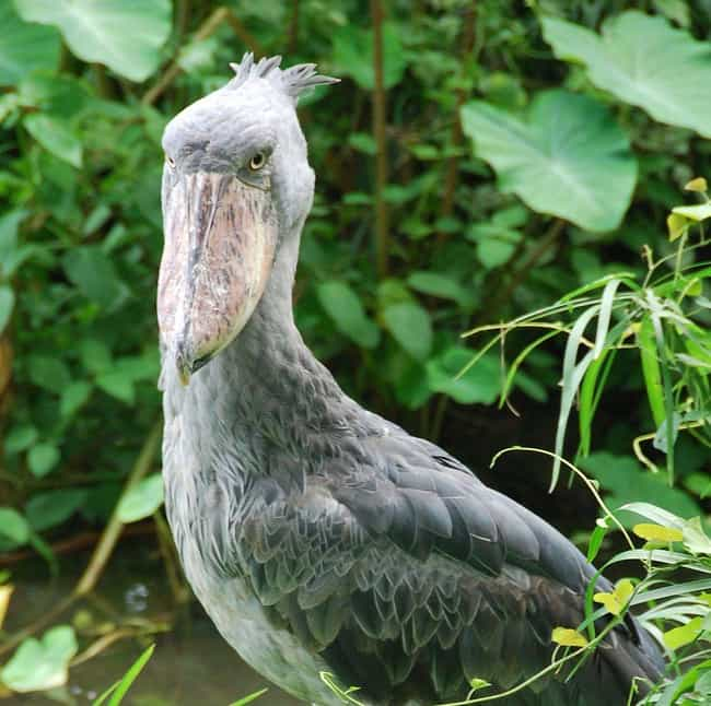 Shoebills Eat The Stuff Of You... is listed (or ranked) 3 on the list Borderline Terrifying Facts About The Shoebill Bird