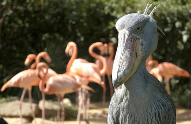The Shoebill Does Something Aw... is listed (or ranked) 2 on the list Borderline Terrifying Facts About The Shoebill Bird