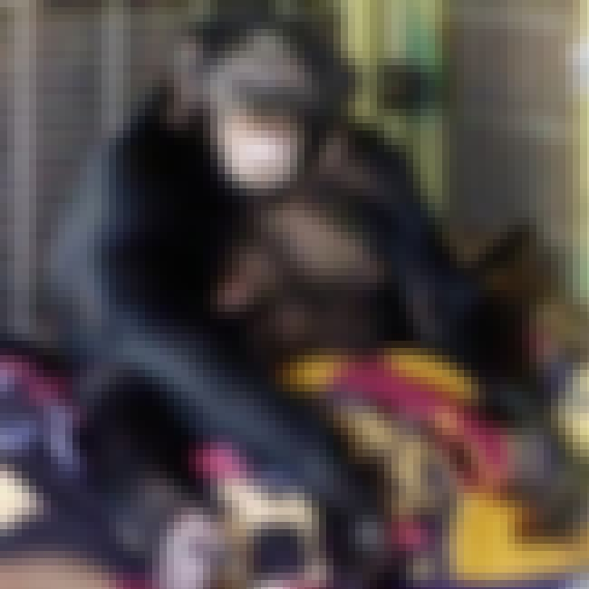Travis The Chimp Tore Off A Wo... is listed (or ranked) 1 on the list People Who Owned Chimps As Pets And Paid The Price