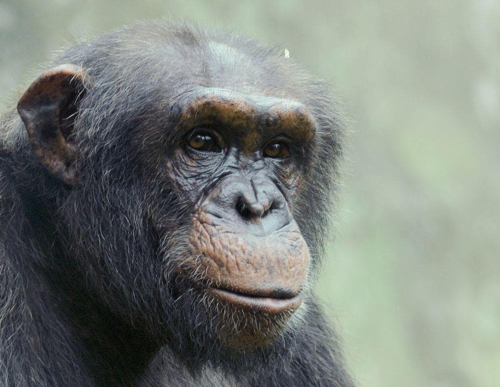 Random People Who Owned Chimps As Pets And Paid Price
