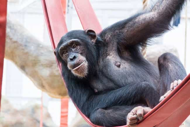 7 People Who Owned Chimps And Regretted It