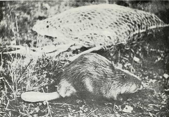 Beaver Tail, Some Delicious &#... is listed (or ranked) 1 on the list 15 Disgusting Foods People Really Ate In 18th Century America