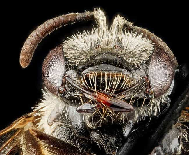 Lasioglossum Oenotherae,... is listed (or ranked) 4 on the list 24 Unnerving, Close-Up Pictures Of Insect Faces