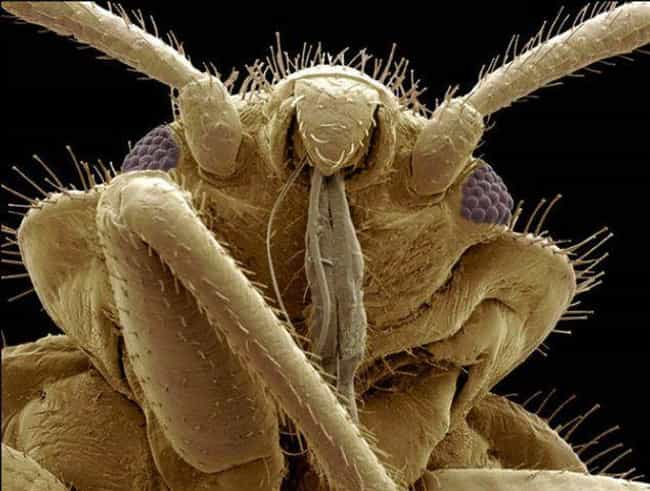 Bedbug is listed (or ranked) 3 on the list 24 Unnerving, Close-Up Pictures Of Insect Faces