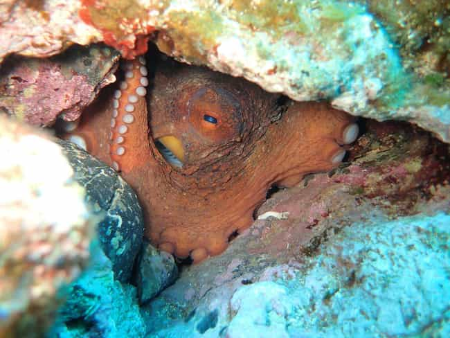 Octopuses Are Master Esc... is listed (or ranked) 4 on the list The Story Of Inky, The Most Badass Octopus In The Sea