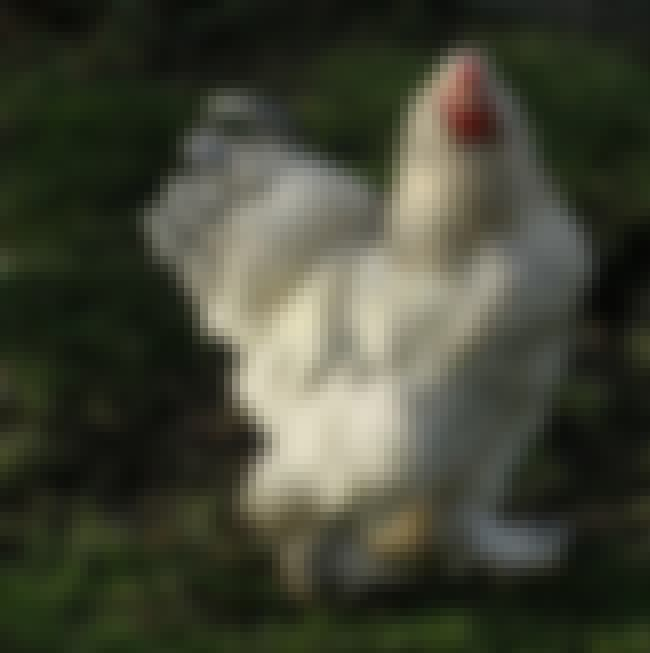 Despite Their Horrifying Exter... is listed (or ranked) 2 on the list Meet Big Chicken - A Terrifying Chicken-Beast Taking The Internet By Storm