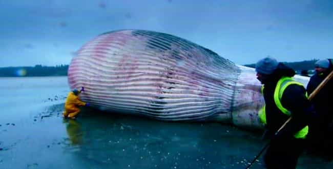 For Alive Beached Whales, Lack... is listed (or ranked) 2 on the list Everything That Happens When A Whale Explodes