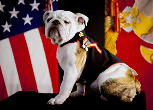 The Bulldog is listed (or ranked) 2 on the list 9 Common Marine Tattoos and What They Mean