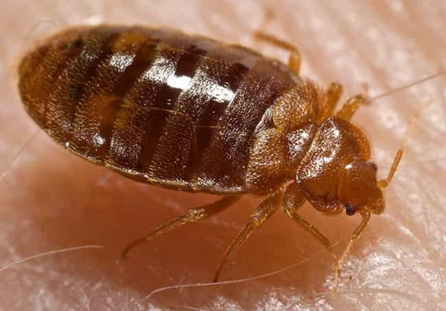 Bed Bugs, Sneaky Nightti... is listed (or ranked) 2 on the list 12 Fascinating, Slightly Disgusting Creatures That Can Live On Your Body