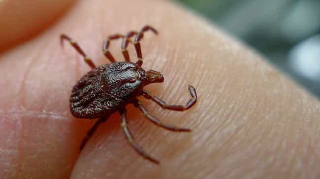 Ticks, Bacteria-Filled Hitchhi... is listed (or ranked) 1 on the list 12 Fascinating, Slightly Disgusting Creatures That Can Live On Your Body