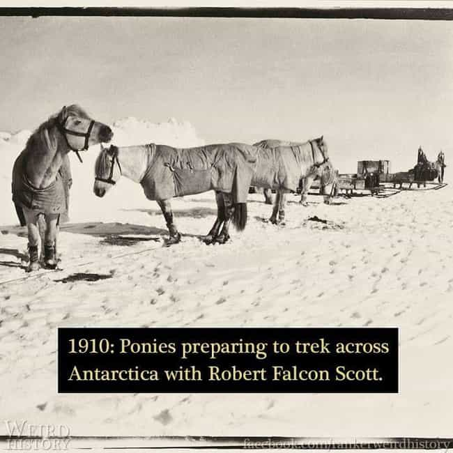 1910: Ponies On Antarcti... is listed (or ranked) 3 on the list 24 Historical Photos of People Doing Really Weird Things With Animals
